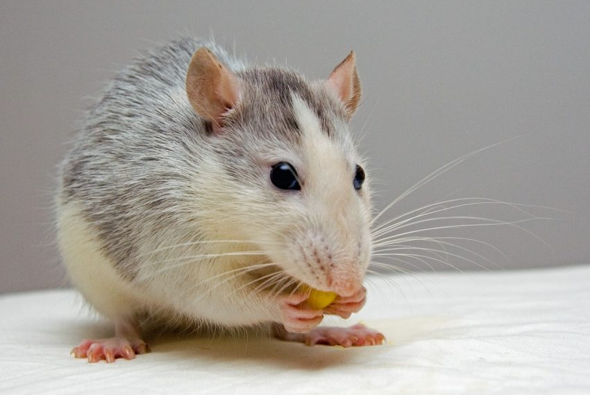 Mơ thấy chuột
